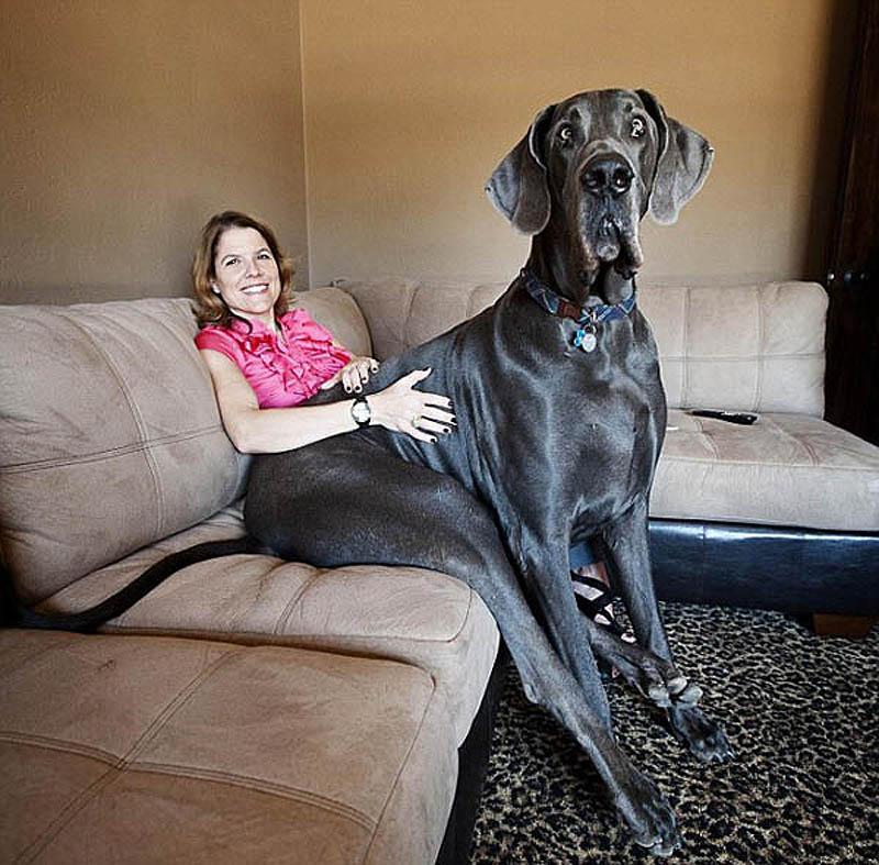 4135 Собака великан