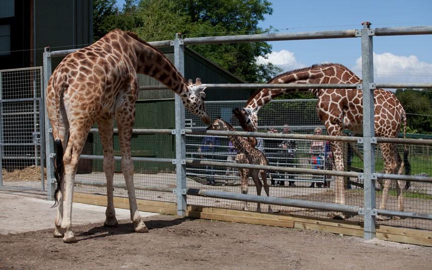 4144 Новорожденный жираф в Бристольском зоопарке