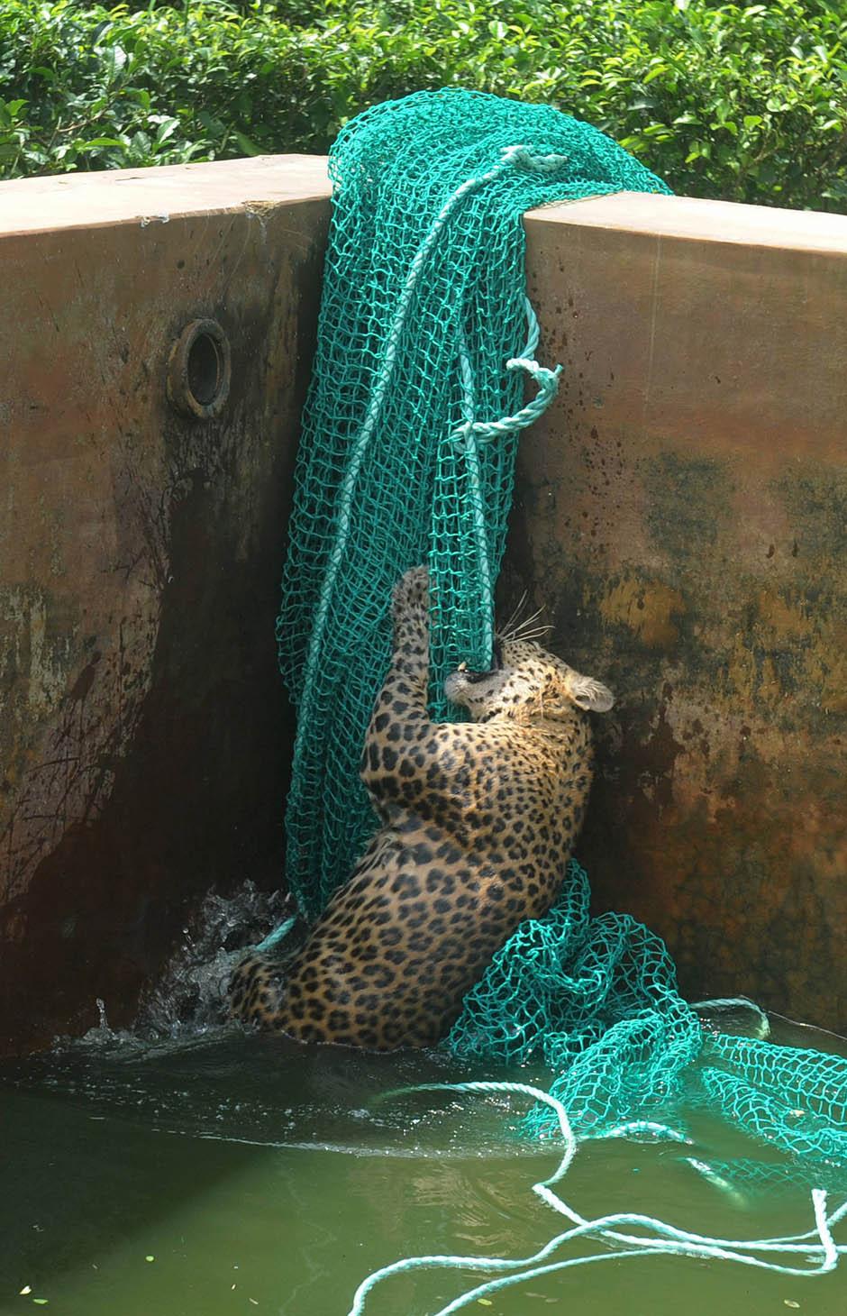 4151 Осталось восемь жизней   дикий леопард спасся, упав в резервуар с водой