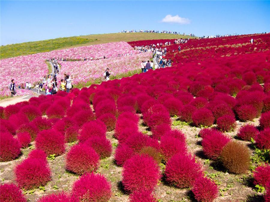 449 Рассветная страна цветов «Hitachi Seaside Park»