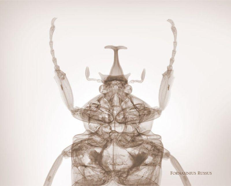 48fornasinius russus Жук бронзовик Рентгеновский взгляд на мир Ника Визи