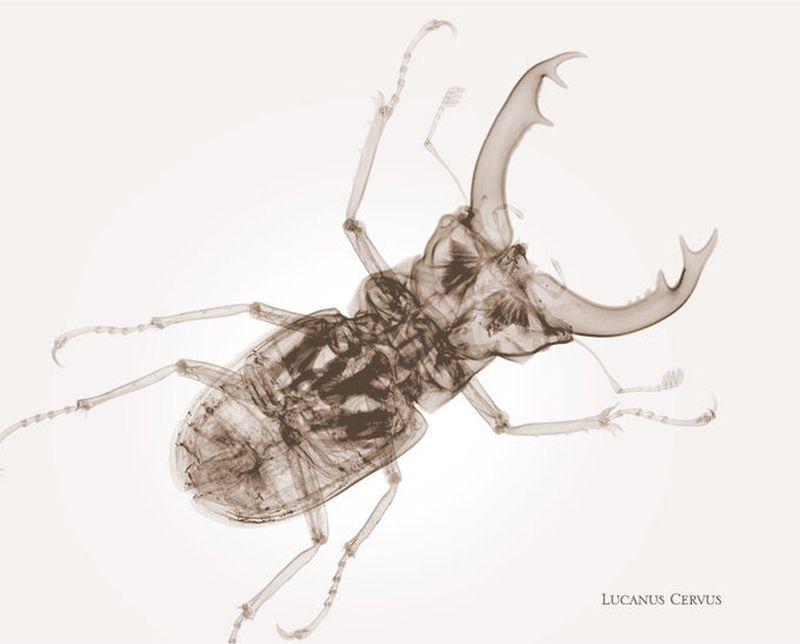 49Lucanus Cervus Жук Олень Рентгеновский взгляд на мир Ника Визи