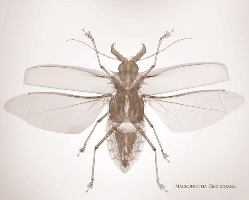 50macrodontia cervicornis Жук Усач Рентгеновский взгляд на мир Ника Визи