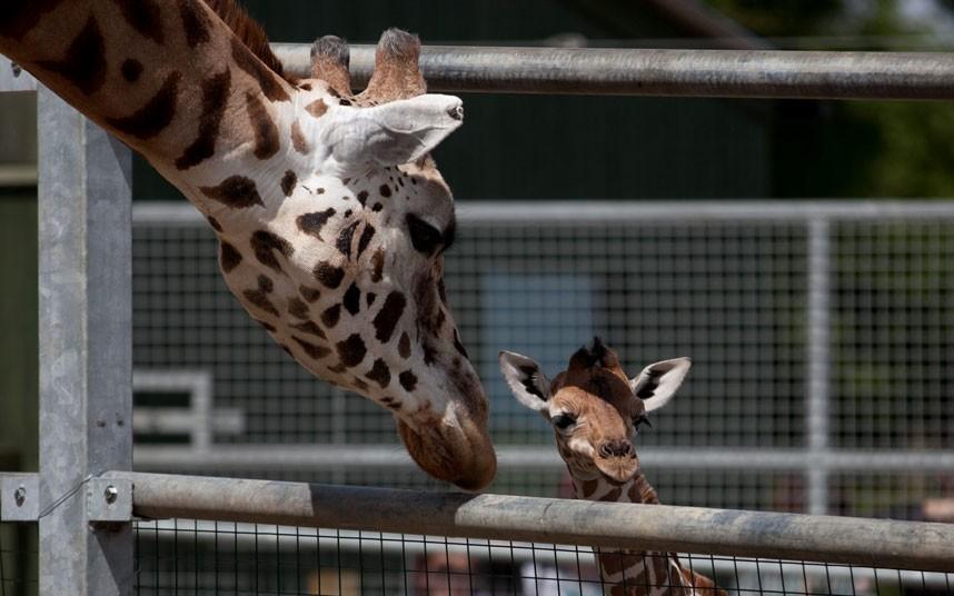 5129 Новорожденный жираф в Бристольском зоопарке