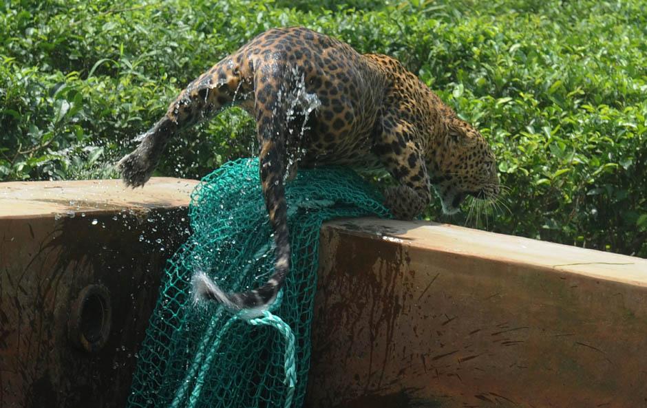 5135 Осталось восемь жизней   дикий леопард спасся, упав в резервуар с водой