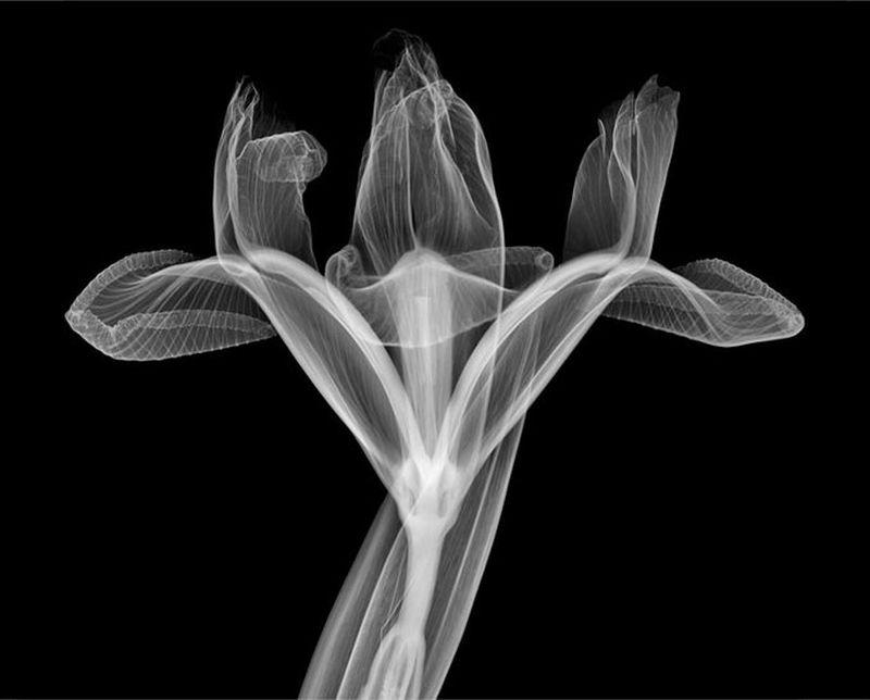 52Ирис Рентгеновский взгляд на мир Ника Визи