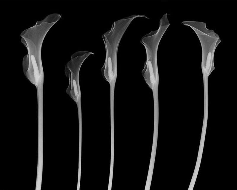53Лилии Рентгеновский взгляд на мир Ника Визи