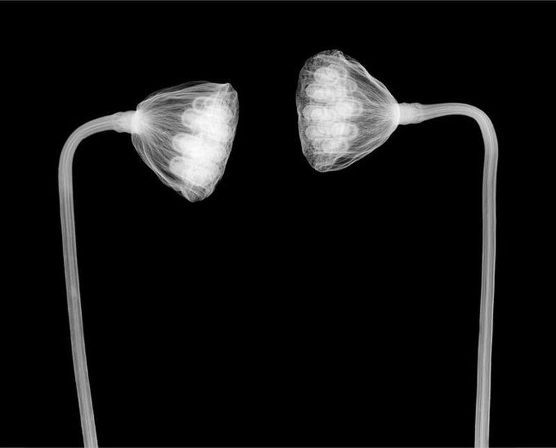 54Лотусы Рентгеновский взгляд на мир Ника Визи