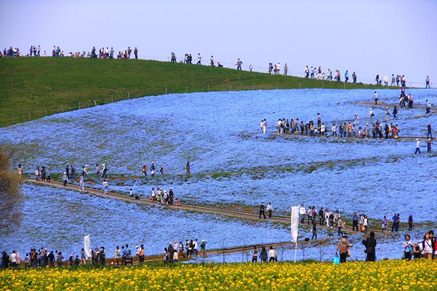 547 Рассветная страна цветов «Hitachi Seaside Park»