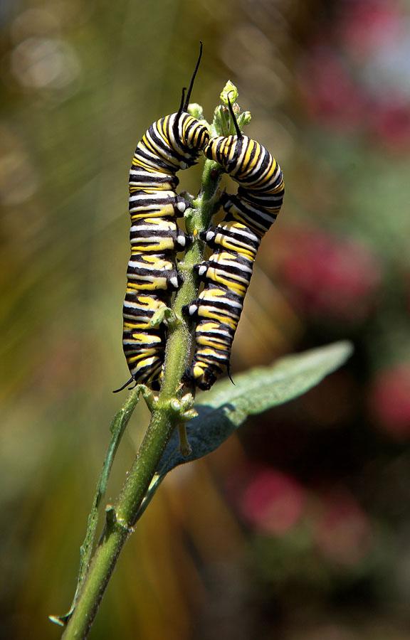 558 Метаморфозы и рождение бабочки монарха