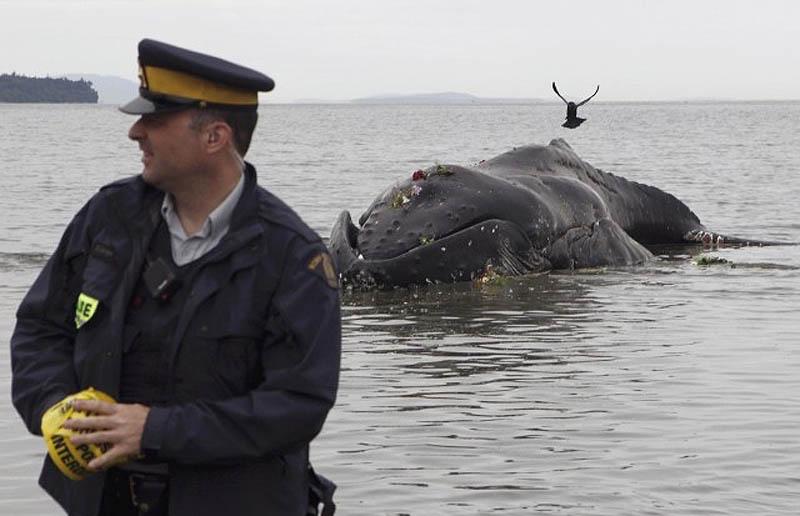 588 Еще одна жертва человека: молодой кит горбач с нейлоновой леской во рту