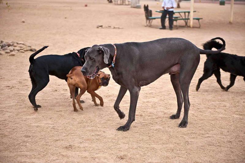6106 Собака великан