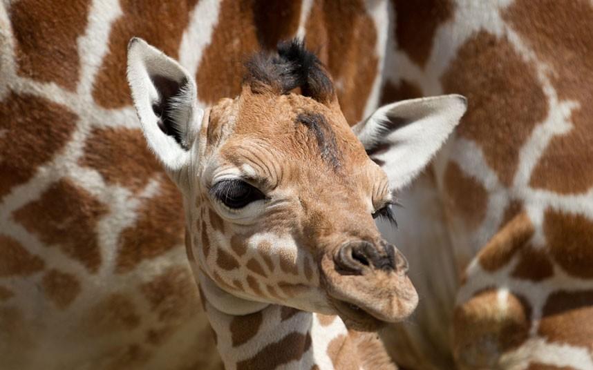 6116 Новорожденный жираф в Бристольском зоопарке