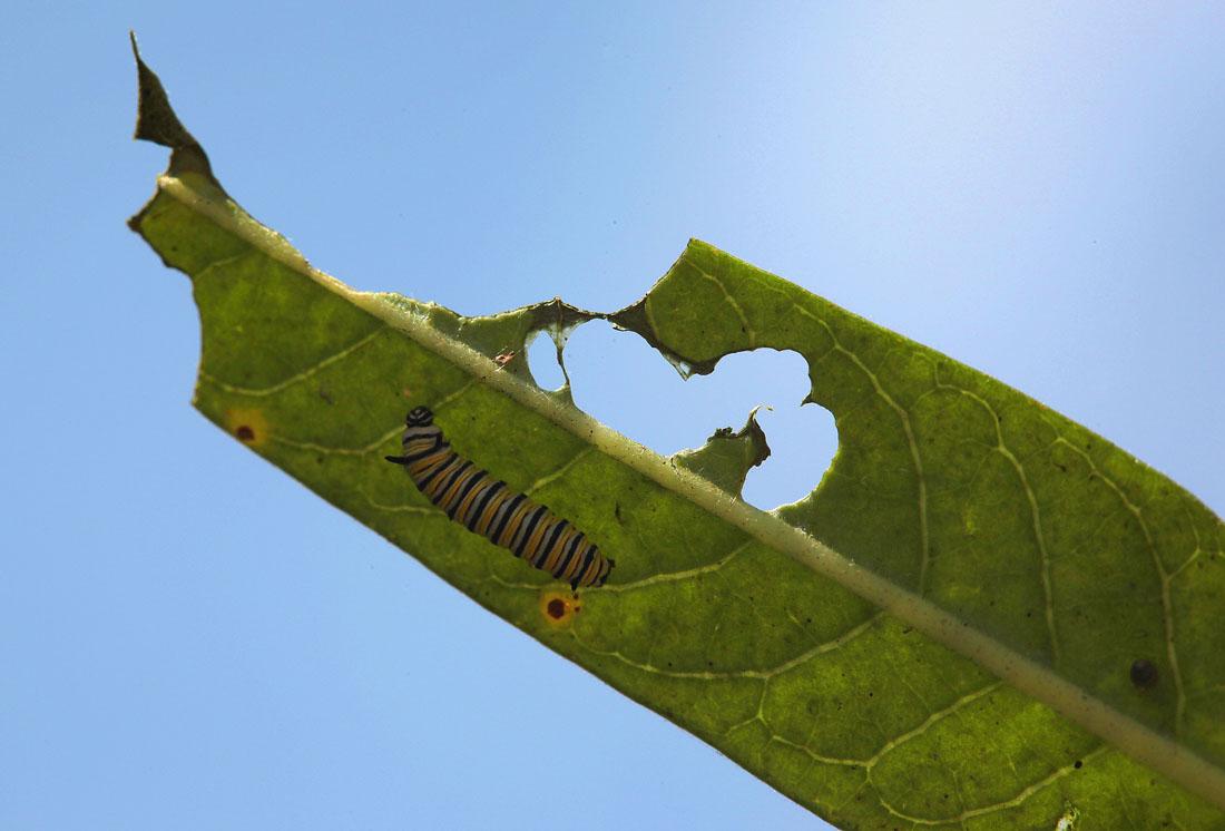 649 Метаморфозы и рождение бабочки монарха