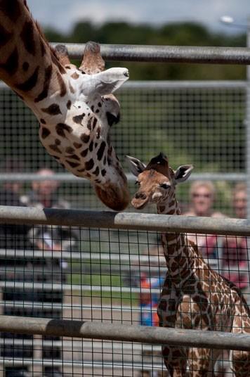7106 Новорожденный жираф в Бристольском зоопарке