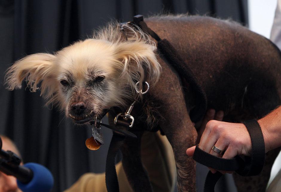 7133 Конкурс на самую уродливую собаку 2012