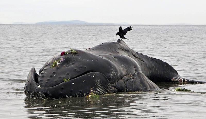 773 Еще одна жертва человека: молодой кит горбач с нейлоновой леской во рту