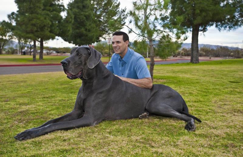 799 Собака великан