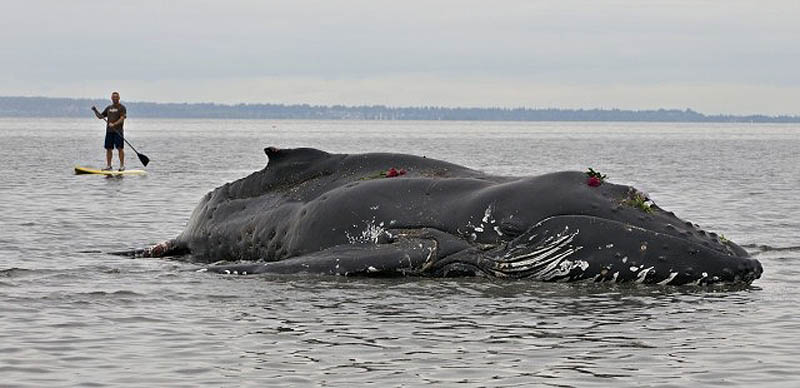 868 Еще одна жертва человека: молодой кит горбач с нейлоновой леской во рту