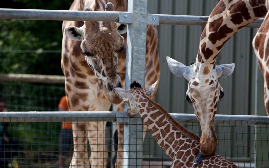 899 Новорожденный жираф в Бристольском зоопарке