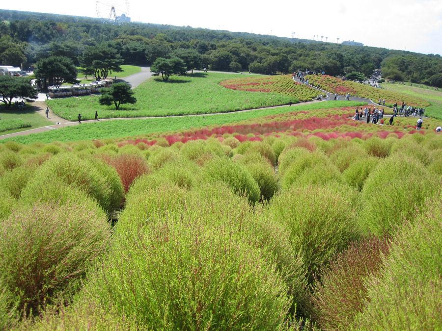 933 Рассветная страна цветов «Hitachi Seaside Park»