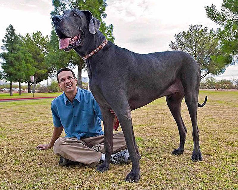 986 Собака великан