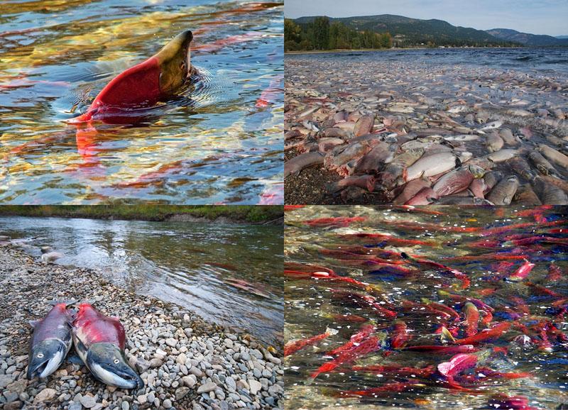 Миграция лосося на рекеАдамс