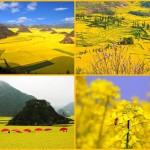 Золотые рапсовые поля Поднебесной