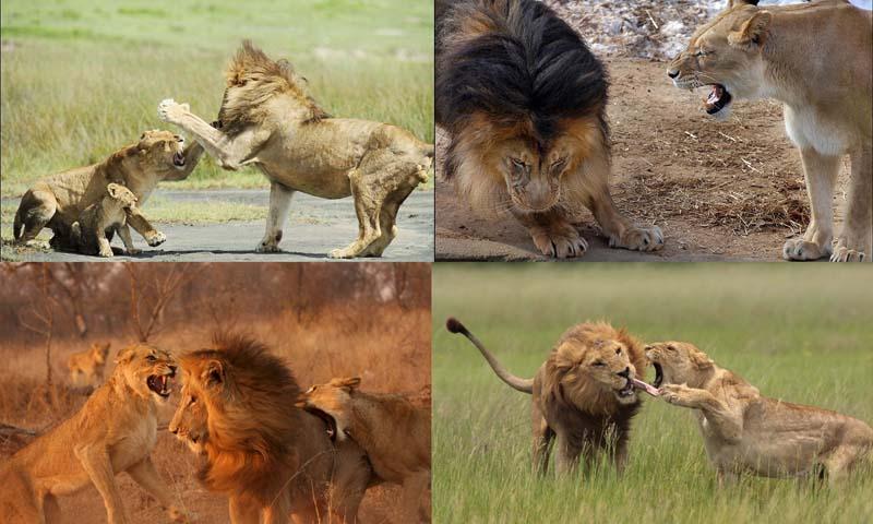 Спаривание львов фото