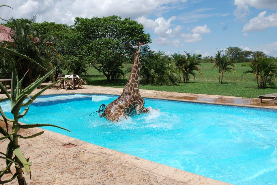 GM6ZQ Жираф искупался в бассейне