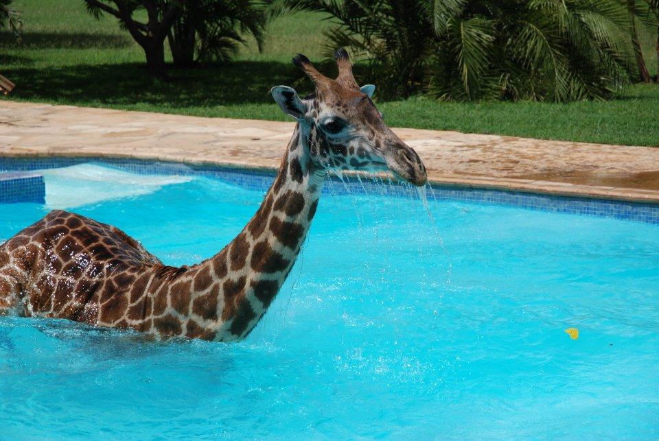ObDLa Жираф искупался в бассейне