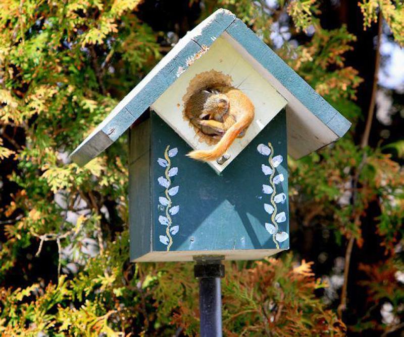 Squirrel Переезд по беличьи: необычные и умилительные кадры канадского натуралиста