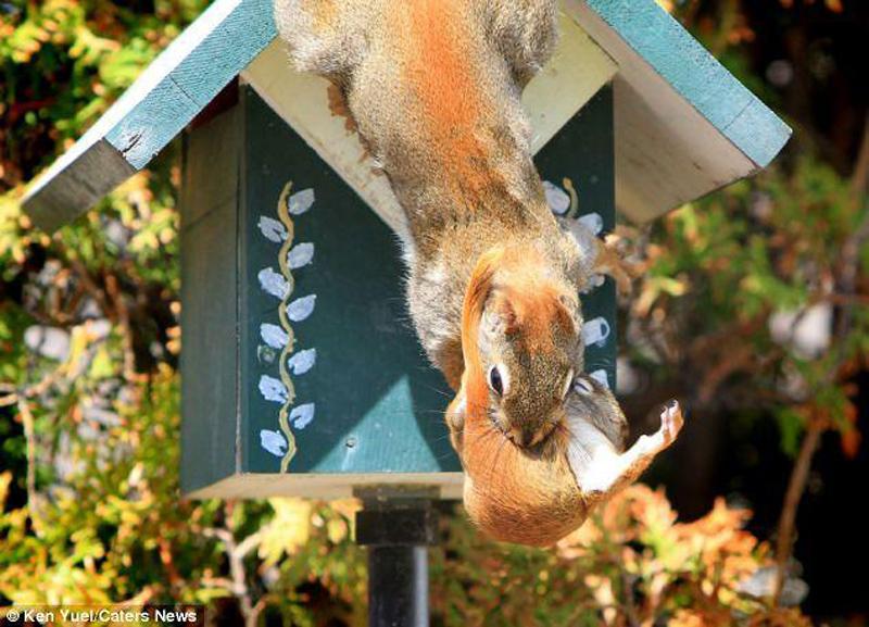 Squirrem Переезд по беличьи: необычные и умилительные кадры канадского натуралиста