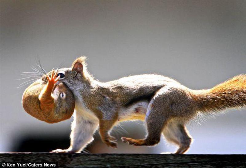 Squirren Переезд по беличьи: необычные и умилительные кадры канадского натуралиста