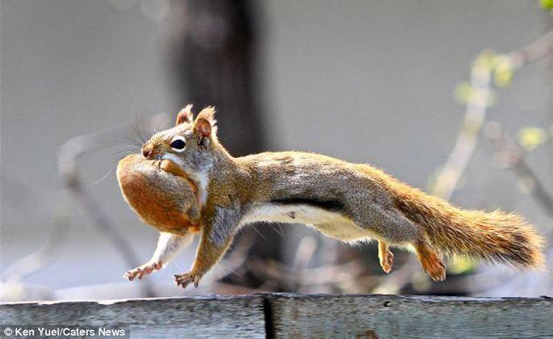 Squirreo Переезд по беличьи: необычные и умилительные кадры канадского натуралиста