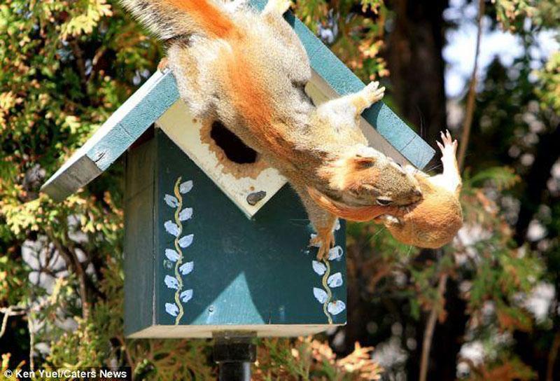 Squirrep Переезд по беличьи: необычные и умилительные кадры канадского натуралиста