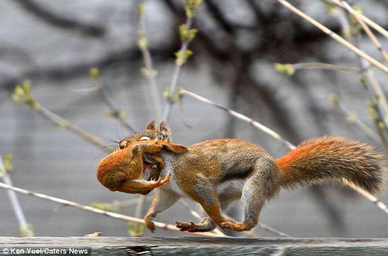 Squirreq Переезд по беличьи: необычные и умилительные кадры канадского натуралиста