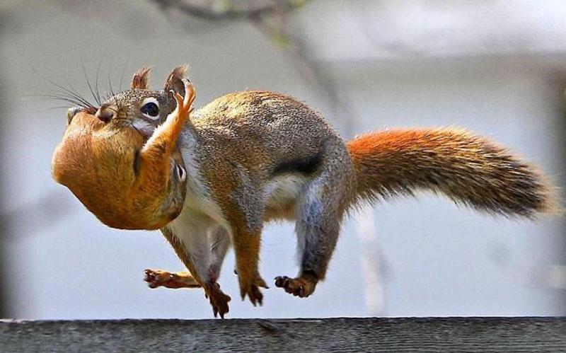 Squirrer Переезд по беличьи: необычные и умилительные кадры канадского натуралиста