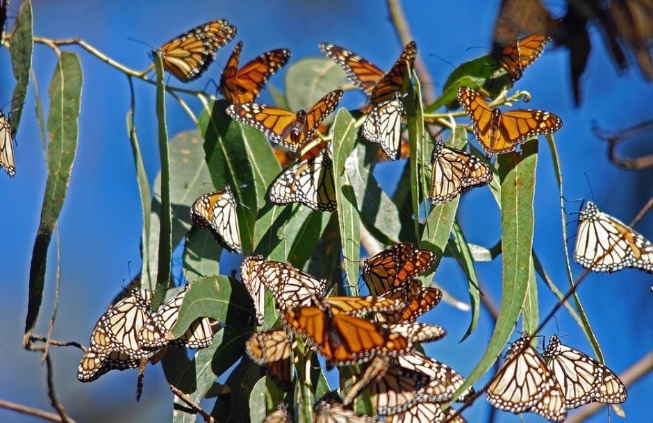 butterfly01 Миграция бабочек   монархов