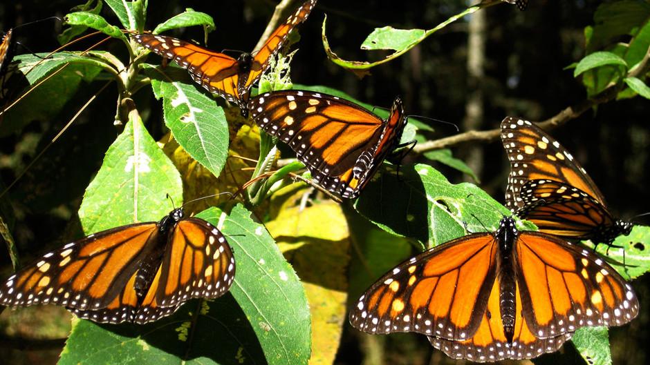 butterfly02 Миграция бабочек   монархов