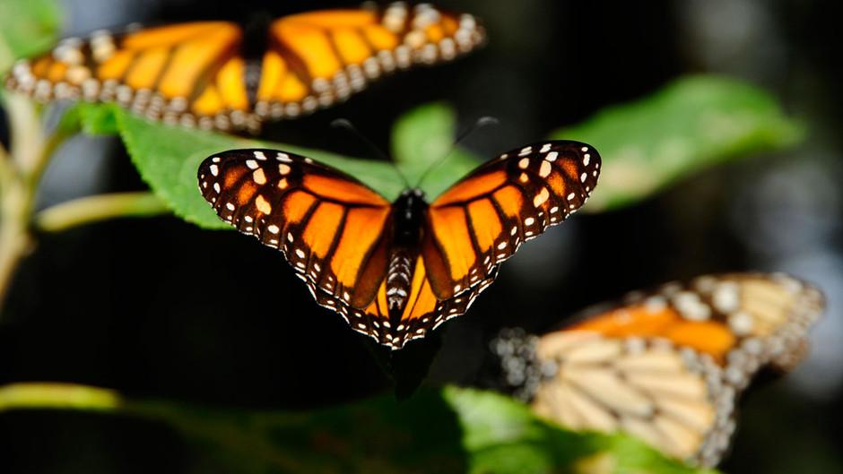 butterfly03 Миграция бабочек   монархов
