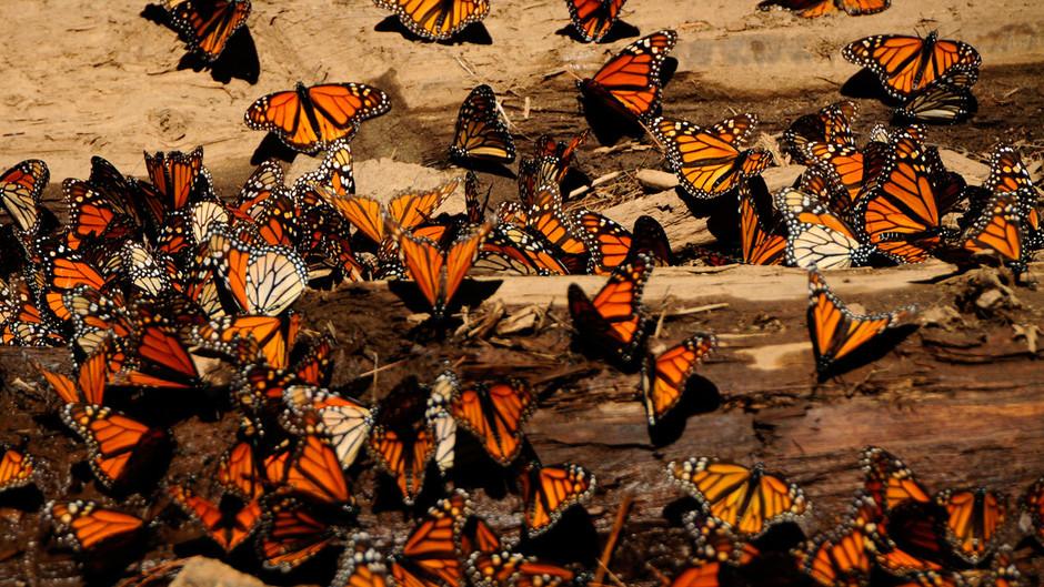 butterfly04 Миграция бабочек   монархов