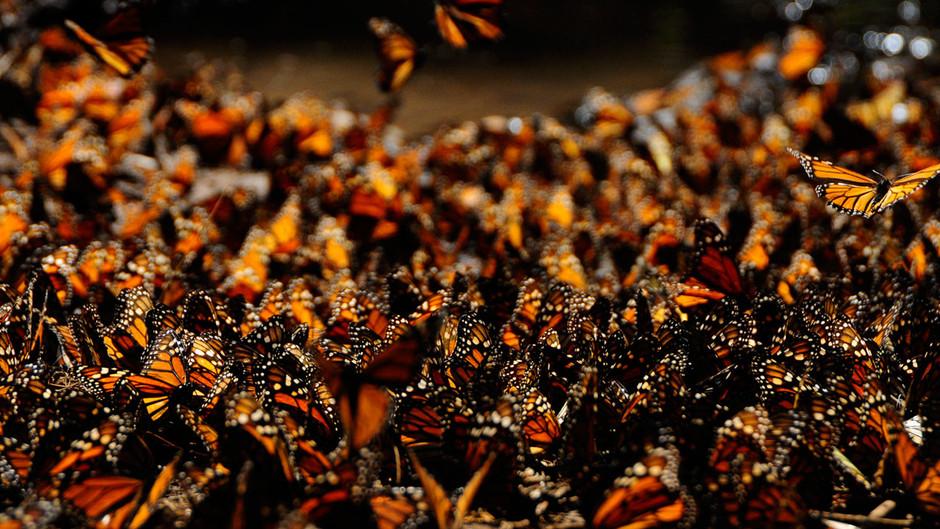butterfly05 Миграция бабочек   монархов