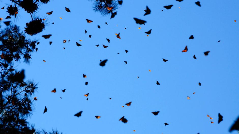 butterfly07 Миграция бабочек   монархов