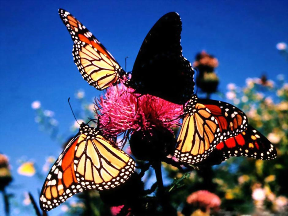 butterfly08 Миграция бабочек   монархов