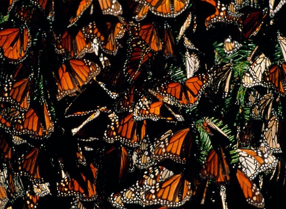 butterfly09 Миграция бабочек   монархов