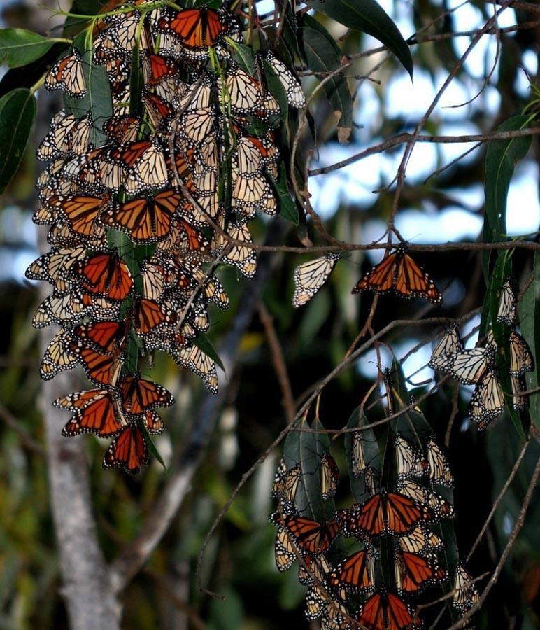 butterfly10 Миграция бабочек   монархов