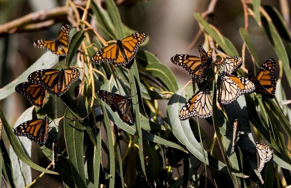 butterfly11 Миграция бабочек   монархов