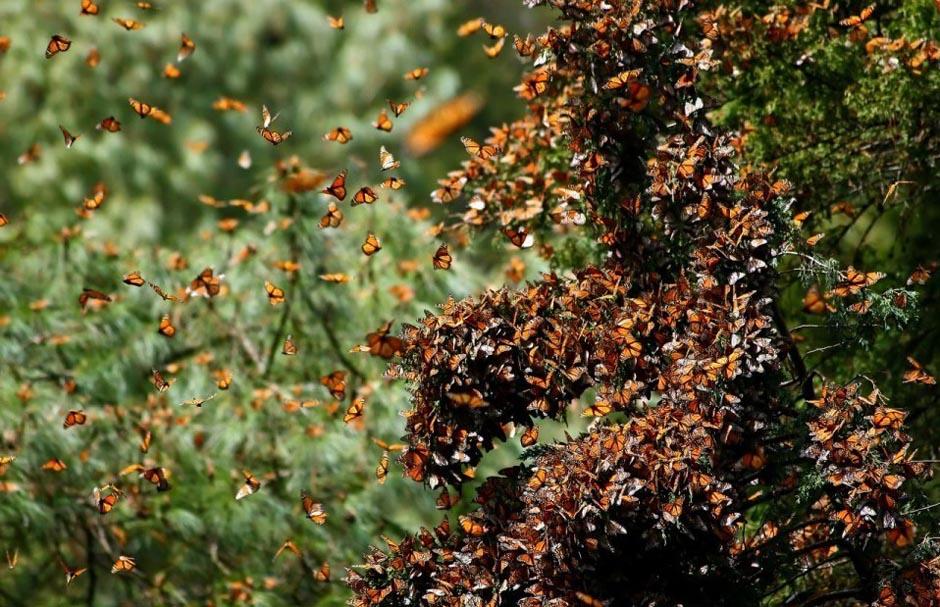 butterfly13 Миграция бабочек   монархов
