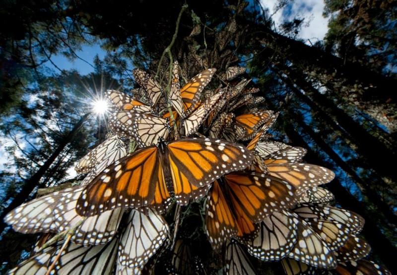 butterfly14 800x553 Миграция бабочек   монархов